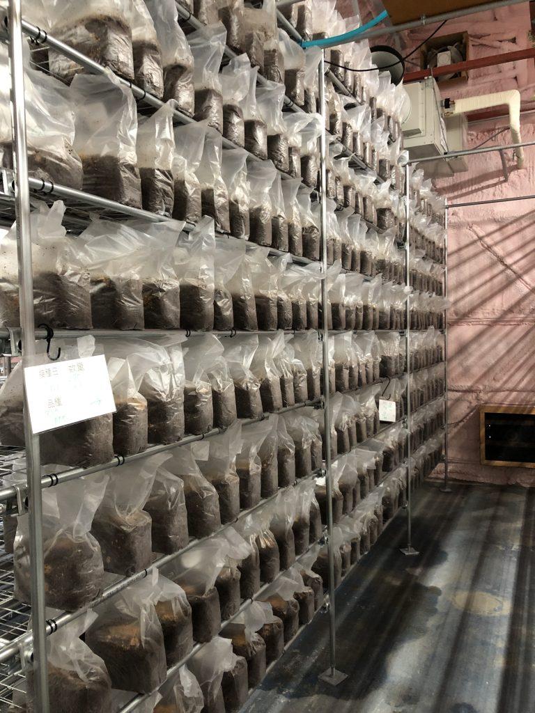 キクラゲ菌床培養